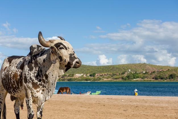 Bue sulla spiaggia fluviale di ilha do ferro