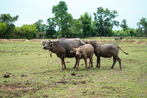 Bufali della tailandia nel giacimento del riso