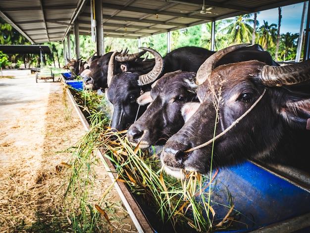Bufali domestici in un'azienda agricola all'ombra che mangia erba