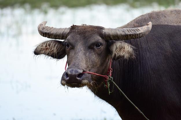 Bufali nel campo che mangiano l'erba in tailandia