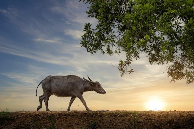 Bufalo comune nella zona rurale della tailandia.