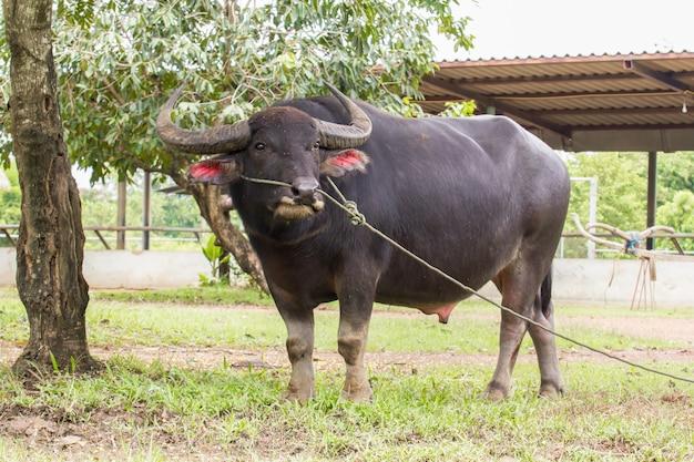 Bufalo d'acqua asiatico domestico
