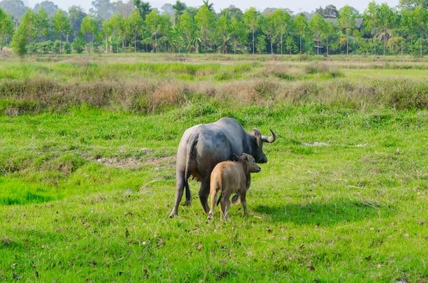 Bufalo d'acqua che sta sull'erba verde e che guarda ad una macchina fotografica