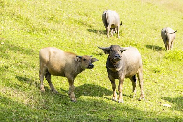 Bufalo d'acqua domestico che sta sull'erba verde e che fissa alla macchina fotografica.