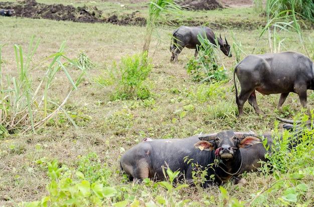 Bufalo d'acqua o bufalo d'acqua asiatico domestico