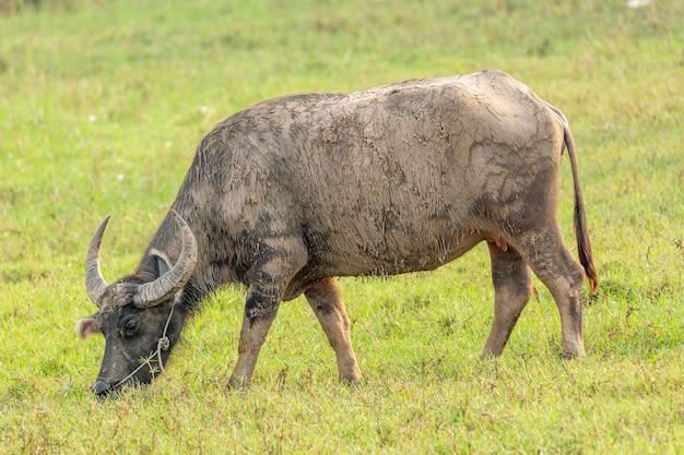 Bufalo tailandese che mangia nel campo