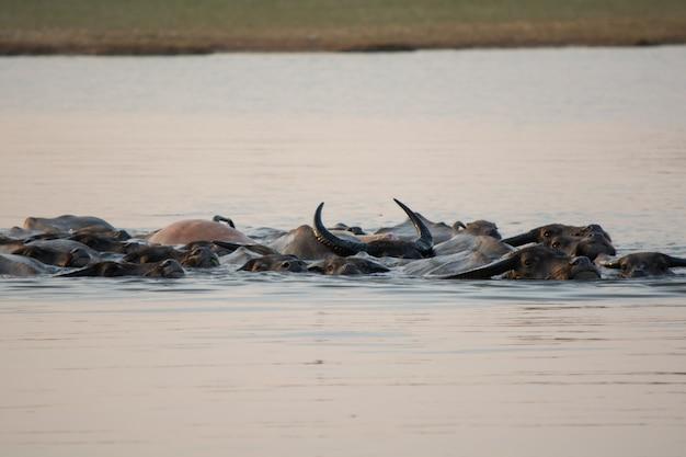 Bufalo tailandese della palude che nuota nel lago.