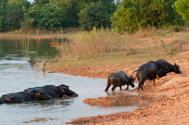 Bufalo tailandese della palude nella palude della torba intorno alla laguna