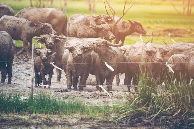 Buffalo agricoltura nel campo della thailandia.