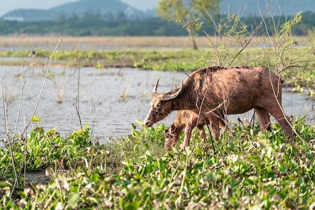 Buffalo che beve da un fiume