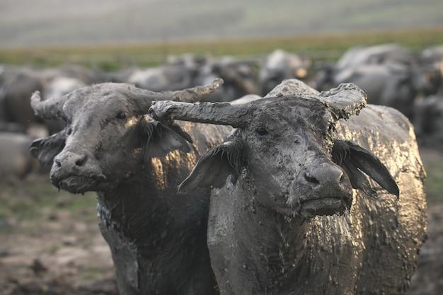 Buffalo che viene sollevata all'interno del recinto
