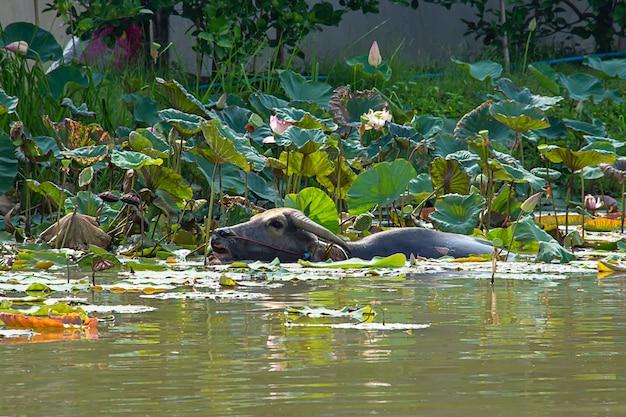Buffalo giocava acqua in uno stagno di loto e mangiava raccolti.