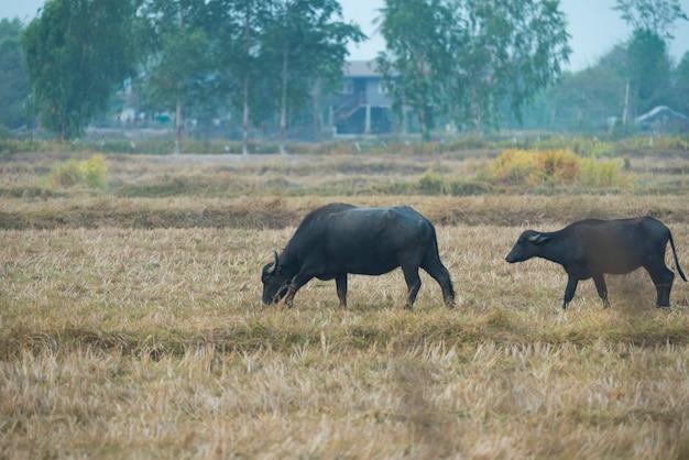 Buffalo nel campo della thailandia