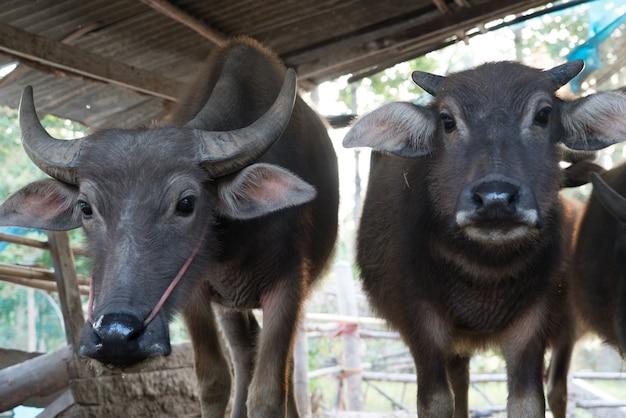 Buffalo nella scena locale della mucca del bufalo della tailandia del ritratto della penna del bestiame di mattina