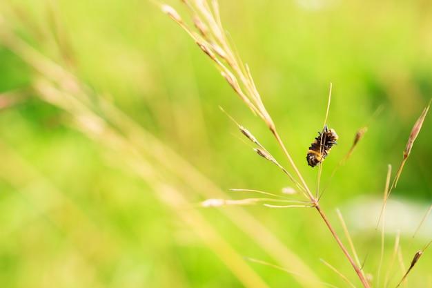Bug della banda che appende sull'erba