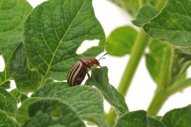 Bug di patate