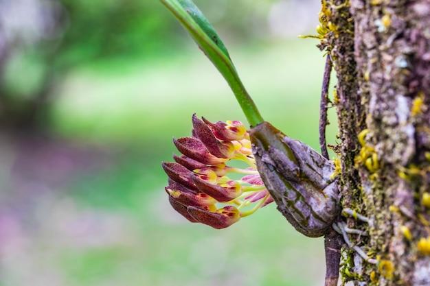 Bulbophyllum spathulatum. belle orchidee selvatiche rare nella foresta tropicale della thailandia.