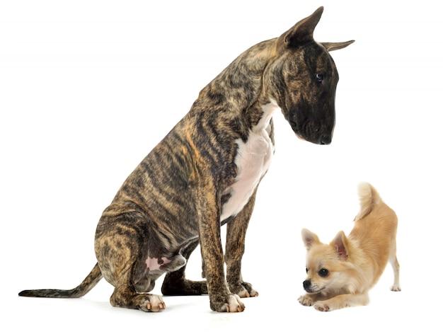 Bull terrier e cucciolo di chihuahua