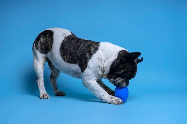 Bulldog francese che gioca con il giocattolo