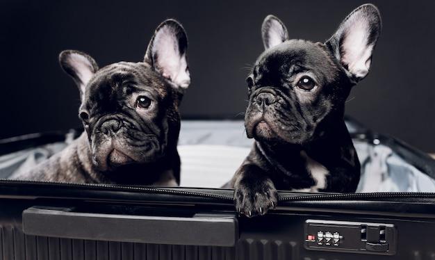 Bulldog francese che si siede sui bagagli pronti per il viaggio.
