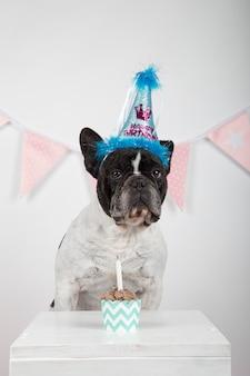 Bulldog francese con il cappello blu di compleanno che celebra il suo compleanno su fondo bianco