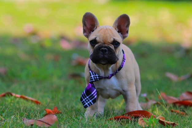 Bulldog francese, cucciolo,