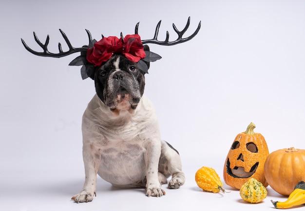 Bulldog francese del ritratto che si siede con i corni dei cervi di halloween e fiori rossi sul bianco