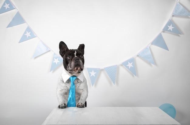 Bulldog francese del ritratto con il colletto della camicia e cravatta blu su bianco