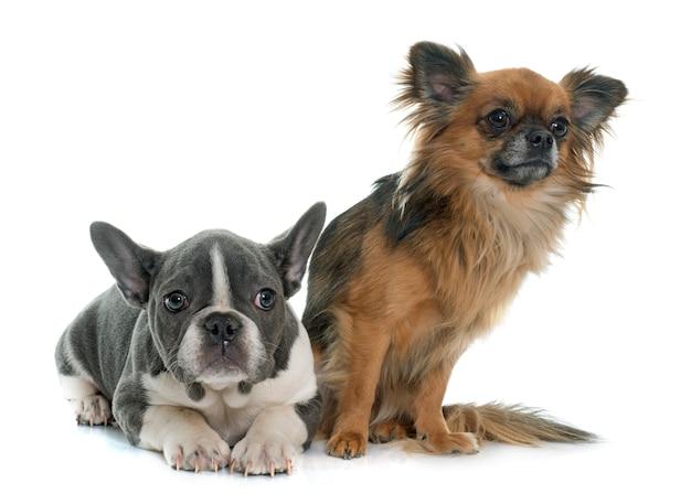 Bulldog francese e chihuahua