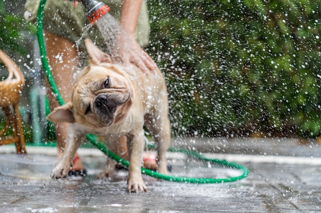 Bulldog francese fare la doccia