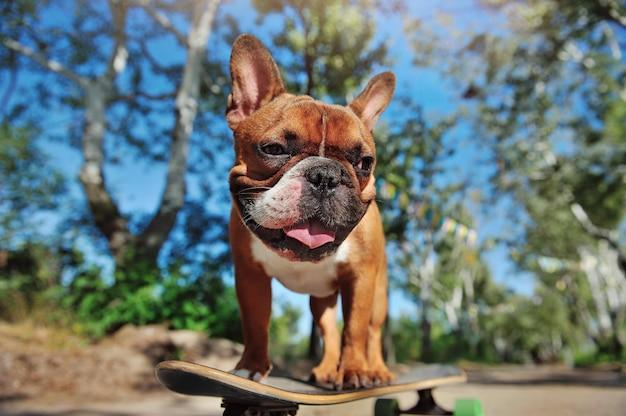 Bulldog francese grazioso divertendosi sullo skateboard