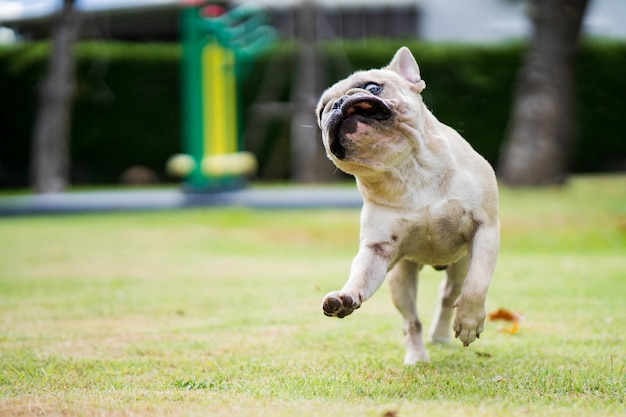 Bulldog francese in esecuzione divertente