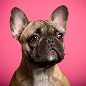 Bulldog francese isolato sul rosa