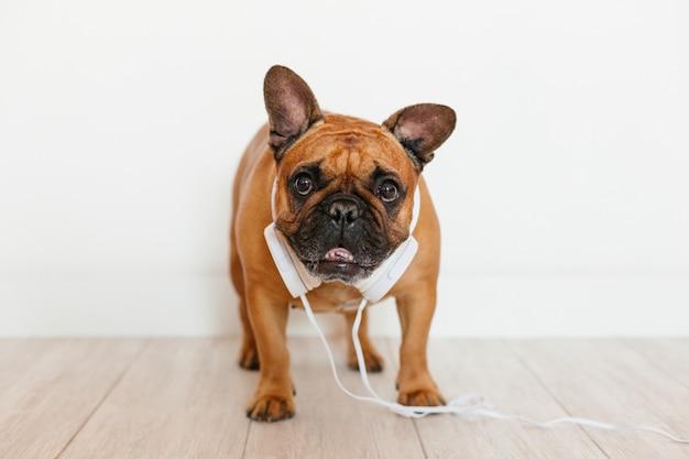 Bulldog francese marrone sveglio a casa e. cane divertente che ascolta la musica sulla cuffia avricolare bianca. animali domestici al chiuso e stile di vita. tecnologia e musica