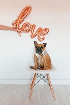 Bulldog francese marrone sveglio che si siede su una sedia a casa. indossa cuffie o cuffie e ascolta la musica. mano della donna che tiene una forma del pallone di amore. animali domestici al chiuso e stile di vita