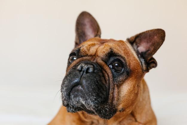Bulldog francese marrone sveglio che si siede sul letto a casa e. espressione divertente e giocosa. animali domestici al chiuso e stile di vita
