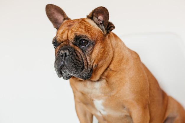 Bulldog francese marrone sveglio che si siede sul pavimento a casa e. espressione divertente e giocosa. animali domestici al chiuso e stile di vita