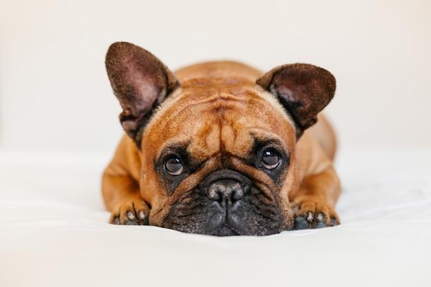 Bulldog francese marrone sveglio che si trova sul letto a casa e. espressione divertente e giocosa. animali domestici al chiuso e stile di vita