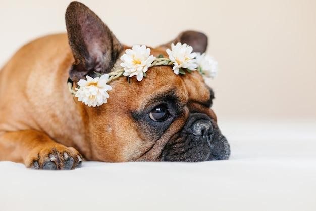 Bulldog francese marrone sveglio che si trova sul letto a casa. indossa una bellissima ghirlanda di fiori bianchi. animali domestici al chiuso e stile di vita