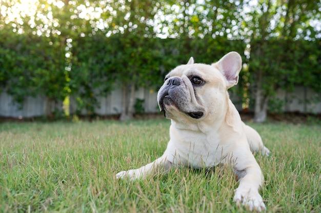 Bulldog francese sveglio che si trova al giardino nella mattina.