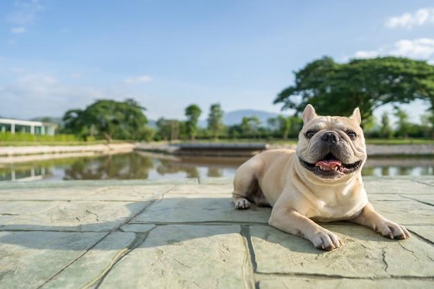 Bulldog francese sveglio che si trova alla terra contro il fondo dello scape della montagna nella mattina.