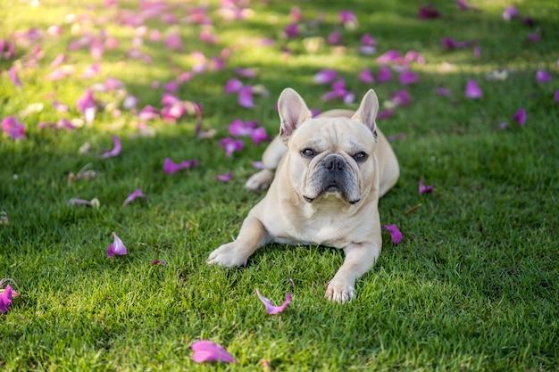 Bulldog francese sveglio che si trova sull'erba sotto l'albero di purpurea di bauhinia nel giardino.