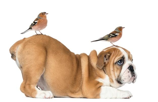 Bulldog inglese cucciolo con fringuello comune