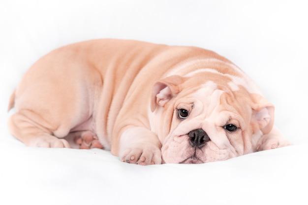 Bulldog inglese della razza del cucciolo su una priorità bassa bianca. isolato.