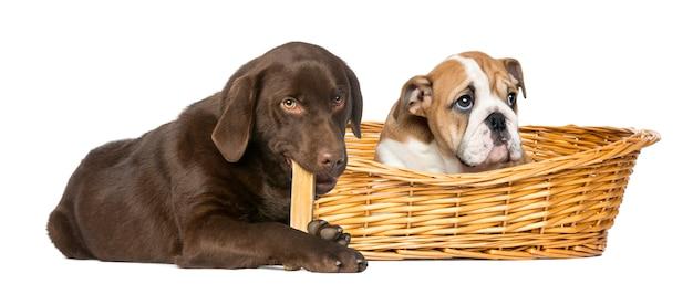 Bulldog inglese in un cestino di vimini e labrador retriever