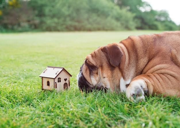 Bulldog inglese rosso che esamina la casa del giocattolo e che sogna della propria casa su erba verde nel parco