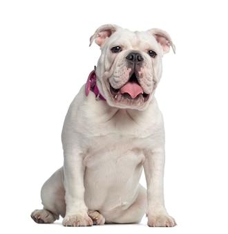 Bulldog inglese, seduto, isolato su bianco