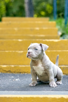 Bulli americano su un fondo concreto, scale urbane del cucciolo bello e sveglio. concetto prima esperienza, primi passi nella vita.