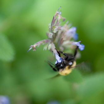 Bumble bee su un fiore in lake of the woods, ontario