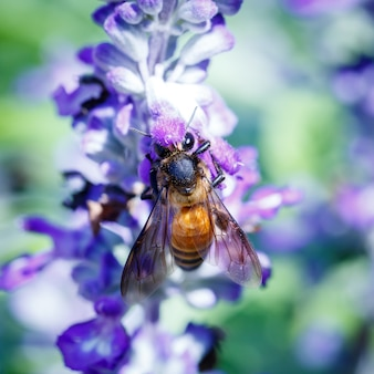 Bumble honey bee ronza sul fiore di lavanda